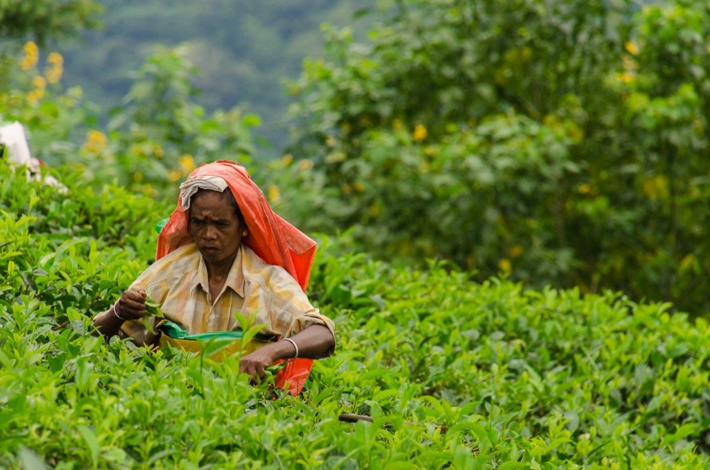 Women picking tea in Ella