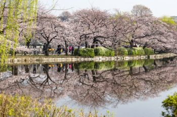 Cherry trees by the Shinobazu Pond
