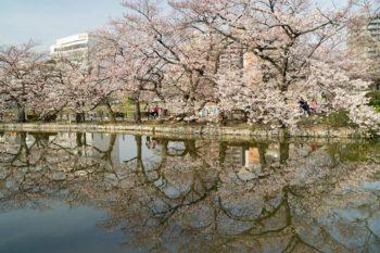 Cherry trees by the Shinobazu Pond